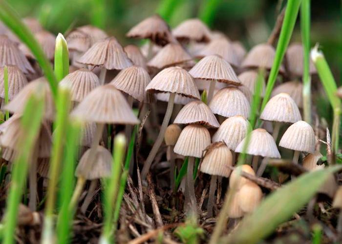 Псилоцибиновые грибы: химический состав